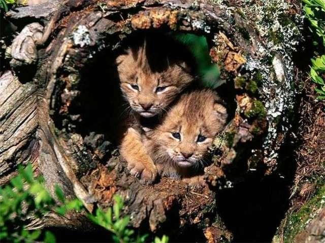 فهود اسود ونمور برية الحيوانات المفترسة feline28.jpg