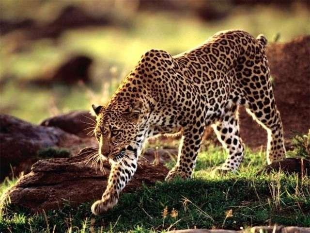 فهود اسود ونمور برية الحيوانات المفترسة feline21.jpg