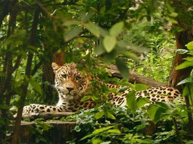 فهود اسود ونمور برية الحيوانات المفترسة feline15.jpg